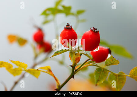 botany, rosehip, Switzerland, Additional-Rights-Clearance-Info-Not-Available - Stock Image