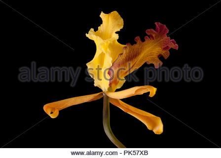 Delicate Turrialba Orchid - Stock Image