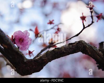 Sakura Up-Close - Stock Image