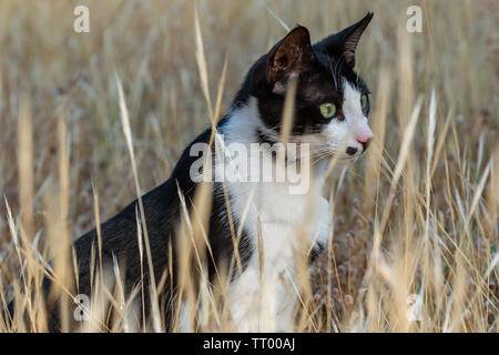 adult domestic cat sitting in dried plants. suitable for animal, pet and wildlife themes - Stock Image