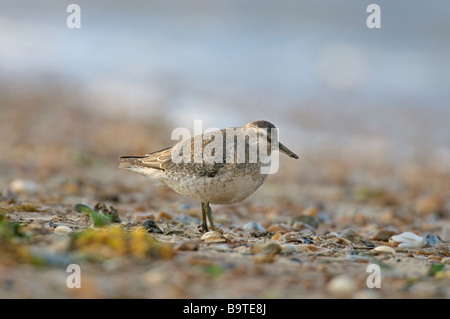 Red knot Calidris canutus adult in winter plumage on foreshore Norfolk England October - Stock Image