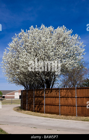Bradford Pear Tree in Full Bloom - Spring Time - Stock Image