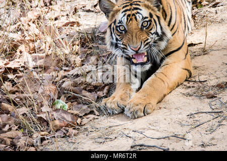 Two year old wild male Bengal Tiger, Panthera tigris tigris, snarling, Bandhavgarh Tiger Reserve, India - Stock Image