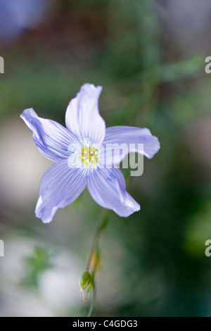 Selective focus image of a blooming blue linum alpinum. - Stock Image