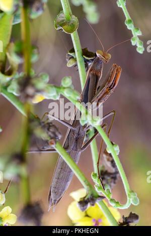Big female brown religious mantis on green leaf. Sardinia, autumn. - Stock Image