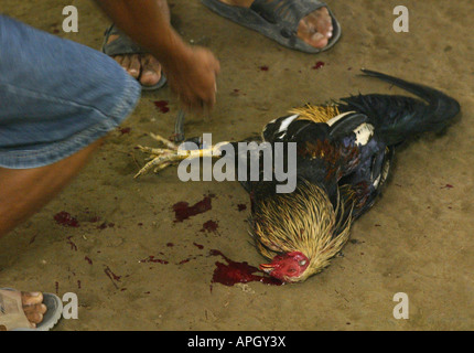 A fatally wounded bird is collected by its owner following a fight at a rural cockhouse in Oriental Mindoro, Philippines. - Stock Image