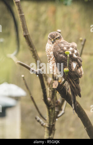 Eurasian Sparrowhawk, Northern Sparrowhawk, Accipiter nisus, juvenile, in garden tree next to bird feeders, seed holders, January. - Stock Image