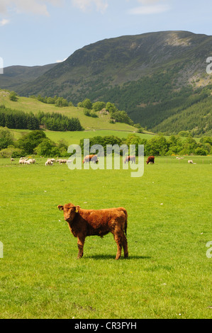 Luing Cattle in fields near the Perthshire village of Fortingall with Glen Lyon in the background - Stock Image