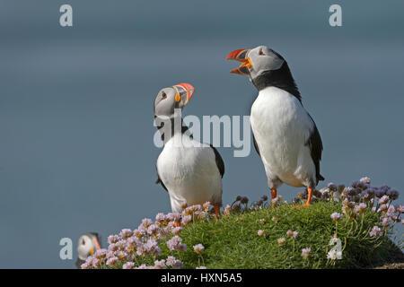 Atlantic puffin (Fratercula arctica) adult pair in greeting ceremony at breeding colony. Isle of Lunga, Treshnish - Stock Image