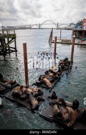 Seals on Sea Lion Dock in Newport in Oregon. - Stock Image