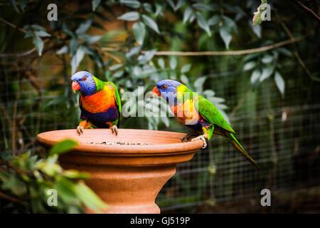 Rainbow Lorikeet in a suburban garden. - Stock Image