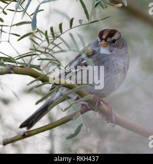 Immature white-crowned sparrow (Zonotrichia leucophrys) perched on a branch in the California desert near the Salton Sea - Stock Image