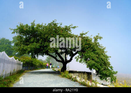 Framed by an apple tree bearing fruits, a couple takes a stroll on Shore Path in Bar Harbor, Maine, USA. - Stock Image