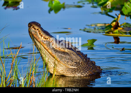 It was time of the year when male alligators roar and make bellowing sounds. - Stock Image