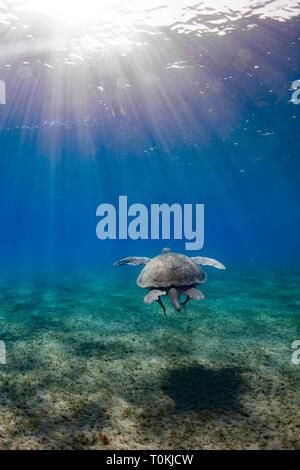 A Green Turtle swimming in Abu Dabbab bay, Egypt - Stock Image