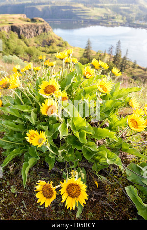 An arrowleaf balsamroot plant overlooking the Columbia River at Rowena Crest in Oregon. - Stock Image