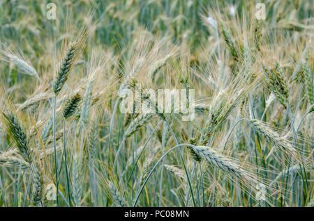 A close up view of barley growing in a field on a farm. - Stock Image