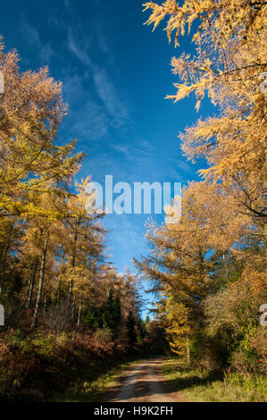 Japanes larch (Larix kaempferi) trees in autumn colours against a deep blue sky, flanking a forest track at Boltby - Stock Image
