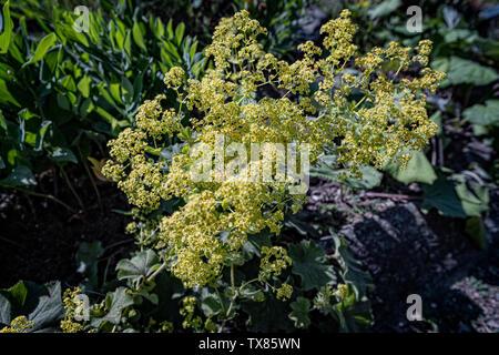 Italy Piedmont Turin Valentino botanical garden - Rosaceae - Alchemilla Mollis ( Buser ) Rothm. - Stock Image