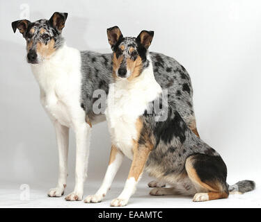 Smooth Collie Dogs on white background - Stock Image