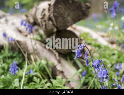 Close up view of Common Bluebells (Hyacinthoides non-scripta) in bloom next to log pile in woodland in Spring. East - Stock Image