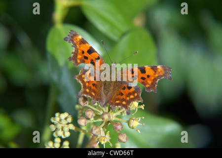Comma Butterfly, Polygonia c-album, on ivy - Stock Image