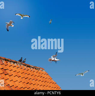 Seagulls flying high against a blue sky and backlit by the sun over a tiled red roof with two pidgeons sitting on the ridge tiles - Stock Image