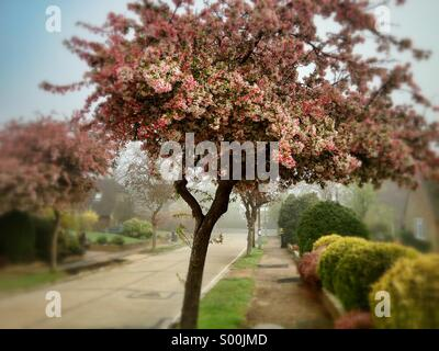 Cherry trees in blossom on quiet residential road in Haywards Heath, West Sussex, England. - Stock Image