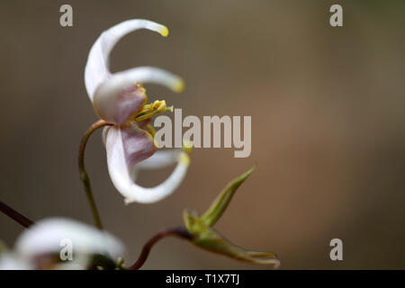 Epimedium × omeiense Pale Fire Sibling,flowers,woodland,perennials,barrenwort,shade,spring,shady,shaded,RM Floral - Stock Image