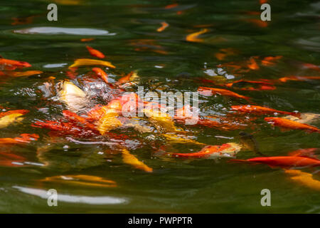 Outdoor koi carp and goldfish coming to the water surface during feeding - Stock Image