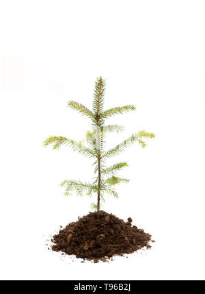 Fir tree in pile of soil isolated on white, studio shot. Planting new spruce trees in forest. Environmentally friendly lifestyle and renewing forest c - Stock Image