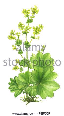 women's coat alchemilla vulgaris - Stock Image