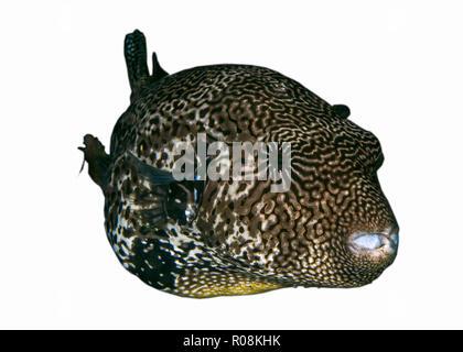 Large map pufferfish on white background. Ambon, Indonesia - Stock Image