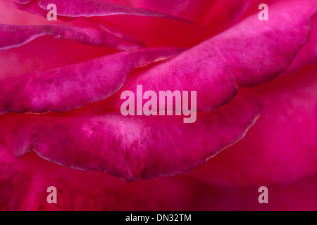close up of red rose petals pink colorful - Stock Image
