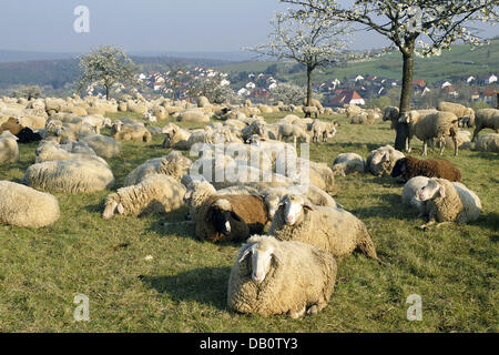 The undated recent picture shows a flock of Merino sheep lying on a meadow with their lambs in Germany. Photo: Ronald - Stock Image