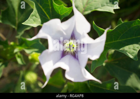 Datura stramonium, known in English as jimsonweed or devil's snare, Overhead shot of flower with selective focus - Stock Image