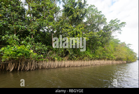 Exposed mangrove roots along the Daintree River, Daintree National Park, Wet Tropics, Far North Queensland, FNQ, QLD, Australia - Stock Image