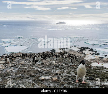 Colony of AdŽlie penguins (Pygoscelis adeliae) Madder Cliffs Antarctic Peninsula Antarctica - Stock Image