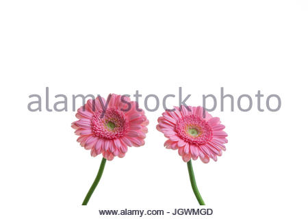 Pink Gerberas against white background - Stock Image