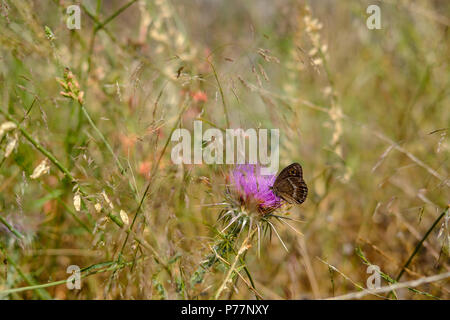 Brown butterfly resting on a purple flower in the long grass and wild flowers in a meadow during a sunny afternoon, East Attica, Greece, Europe. - Stock Image