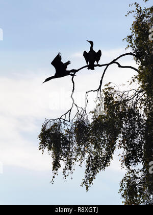 Pair of Great Cormorants perched in a tree with one just flying off - Stock Image