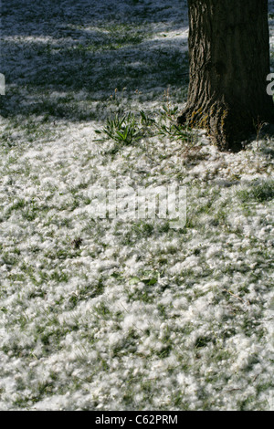 Seeds from a Black Poplar Tree, Populus nigra, Salicaceae, covering the ground around the base of the tree. - Stock Image