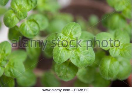 Origanum 'Rosenkuppel' - Stock Image