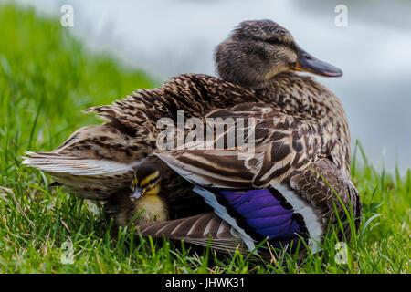 Small mallard duckling ( (Anas platyrhynchos) ) hiding in its mother plumage. - Stock Image