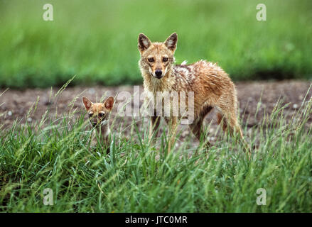 male Indian Jackal, (Canis aureus indicus), with cub near den, Blackbuck National Park, Velavadar, Gujarat, India - Stock Image