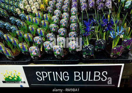 Garden Centre display Spring Bulbs Crocus Pickwick and Iris George Reticulata for sale as bedding plants for spring planting - Stock Image