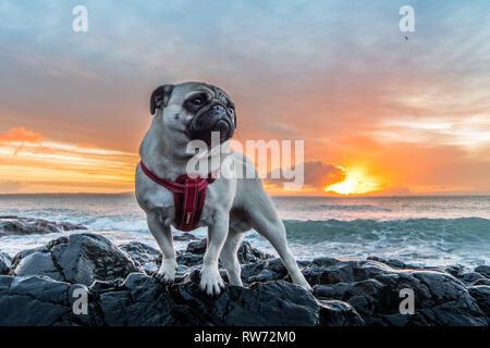 Pug posting majestically on a rock on the coast at sunrise - Stock Image