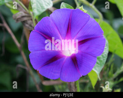 Close-up of a purple morning-glory blossom. - Stock Image