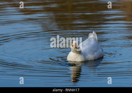 Male drake heavy white Pekin Duck (also known as Aylesbury or Long Island Duck) swimming on a still calm lake with reflection, drinking water - Stock Image