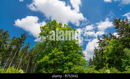 Fresh green treetop of oak in spring forest or park. Quercus robur. Beautiful tree crowns under bright blue sky with white clouds. Natural background. - Stock Image
